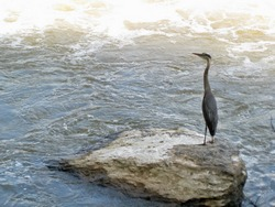 photo of great blue heron along Potomac Heritage Trail between Great Falls and River Bend